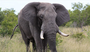 The Ban of Elephant Trophy Imports